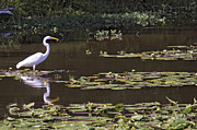 Conway Arkansas Prints - The Egret Hunter Print by Jason Politte