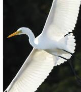Malibu Lagoon Prints - The Egret Print by Marc Bittan