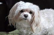 Maltese Dog Photos - The Emperor by Lisa  DiFruscio