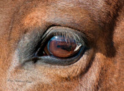 Paint Foal Metal Prints - The Equine Eye Metal Print by Terry Kirkland Cook