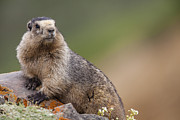 Hoary Prints - The Ever Cautious Marmot Print by Tim Grams