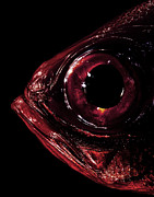 Bizarre Color Posters - The Eye Of A Red Fish Poster by Yusuke Murata