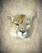Catamount Posters - The Eye of the Puma Poster by Betty LaRue