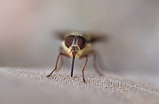 Alien Eyes Photos - The Eyes And Proboscis Of A March Fly by Jason Edwards