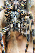 Arachnophobia Framed Prints - The Eyes Have It Framed Print by JC Findley