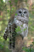 Owl Greeting Card Prints - The Eyes Have it Print by Suzanne Gaff
