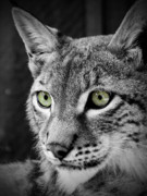 Lynx Photos - The Eyes by Tara Turner
