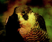 Falcon Metal Prints - The Falcon Metal Print by Wingsdomain Art and Photography
