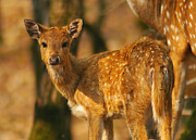 Baby Animals Photos - The Fawn by Paul Topp