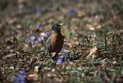 Spring Scenes Posters - The First Robin Of Spring Searches Poster by Stephen St. John