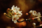 Cherry Blossoms Digital Art Metal Prints - The Fleeting Sweetness of Spring Metal Print by Lois Bryan