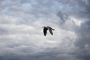 Lone Gull Prints - The Flight of the Gull Print by Terri Thompson