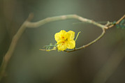 Desert Dome Photos - The Flower Of A Creosote Bush Larrea by Joel Sartore