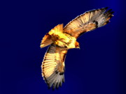 Red Tailed Hawk Posters - The Fly Away Poster by Emily Stauring