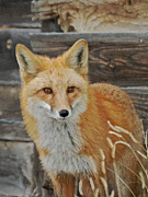 Fox Photos - The Fox 3 by Ernie Echols