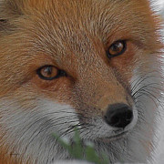 Fox Photos - The Fox 4 Upclose by Ernie Echols