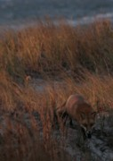 Long Island Photographs Posters - The Fox in the Dunes Poster by Christopher Kirby