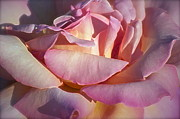 Light Pink Roses Prints - The Fragrance Print by Gwyn Newcombe