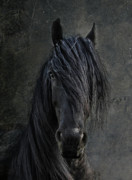 Friesian Metal Prints - The Frisian Metal Print by Joachim G Pinkawa