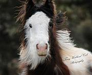 Gypsy Horse Framed Prints - The Fuzziest Gypsy Foal Framed Print by Terry Kirkland Cook