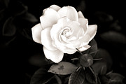 White Flower Photos - The Gardenia by Karen M Scovill