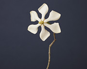 Gardenia Photos - The Gardenia Of One Flower, Six Petals by A.T. White