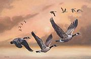 Canadian Geese Paintings - The Gathering Formation by William Hay