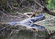 Swampland Metal Prints - The Gator that Lives under the Bridge Metal Print by Carol Groenen
