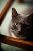 Cat Framed Prints - The Gaze Framed Print by Mike Reid