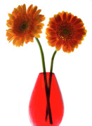 Gerbera Originals - The Gerbera Twins by Terence Davis