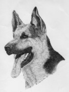 Shepherd Drawings - The German Shepherd by Lucien Van Oosten