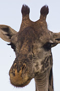 Insects - The Giraffe says to the Fly... by Darcy Michaelchuk