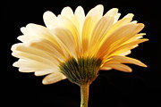 Kelly Photo Prints - The Glowing White Gerbera Print by Aleesha D Kelly