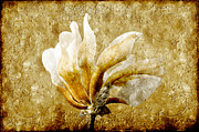 Isolated Mixed Media Prints - The Golden Magnolia Print by Andee Photography