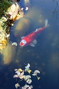 Pictures Photo Originals - The Goldfish by James David Mancini