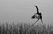 Double-crested Cormorant Framed Prints - The Good Life Monochrome Framed Print by Melanie Moraga