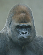 Primates Photos - The Gorilla 4 by Ernie Echols