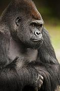Primate Photo Prints - The Gorilla Look Print by Chad Davis