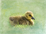 Goslings Framed Prints - The Gosling Framed Print by Betty LaRue