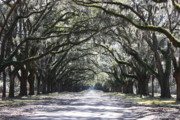 Live Oaks Photo Framed Prints - The Grand Lane Framed Print by Carol Groenen