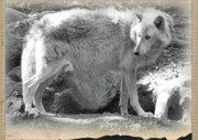 One Animal Mixed Media Posters - The Gray Wolf Poster by Debra     Vatalaro