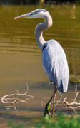 Heron Art - The Great Blue by Emily Stauring