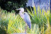 Marilyn Holkham Prints - The Great Blue Heron Print by Marilyn Holkham