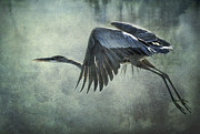 Great Blue Heron Framed Prints - The Great Blue Heron  Framed Print by Saija  Lehtonen