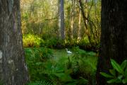 Corkscrew Prints - The Great Corkscrew Swamp Print by David Lee Thompson