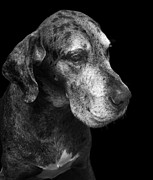 Great Dane Portrait Prints - The Great Dane Print by Marc Huebner
