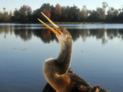 Anhinga Art - The Great Golden Crested Anhinga by David Lee Thompson