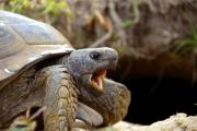 Florida Wildlife Photography Prints - The great Gopher Tortoise Print by David Lee Thompson