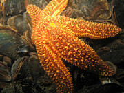 Golden Brown Prints - The Great Starfish Print by Paul Ward