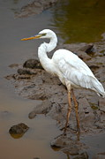 White Morph Prints - The Great White Heron  Print by Kathy Gibbons